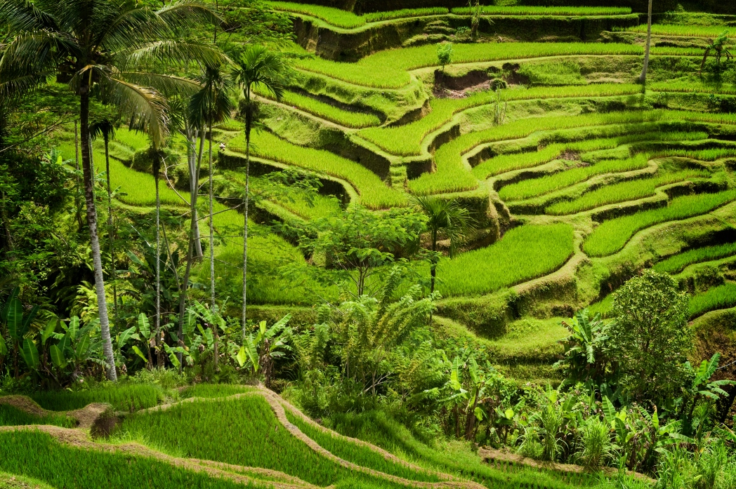 The amazing Tegallalang Rice Terraces