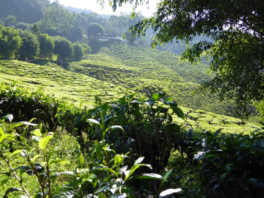green tea plantation at Cameron Highlands