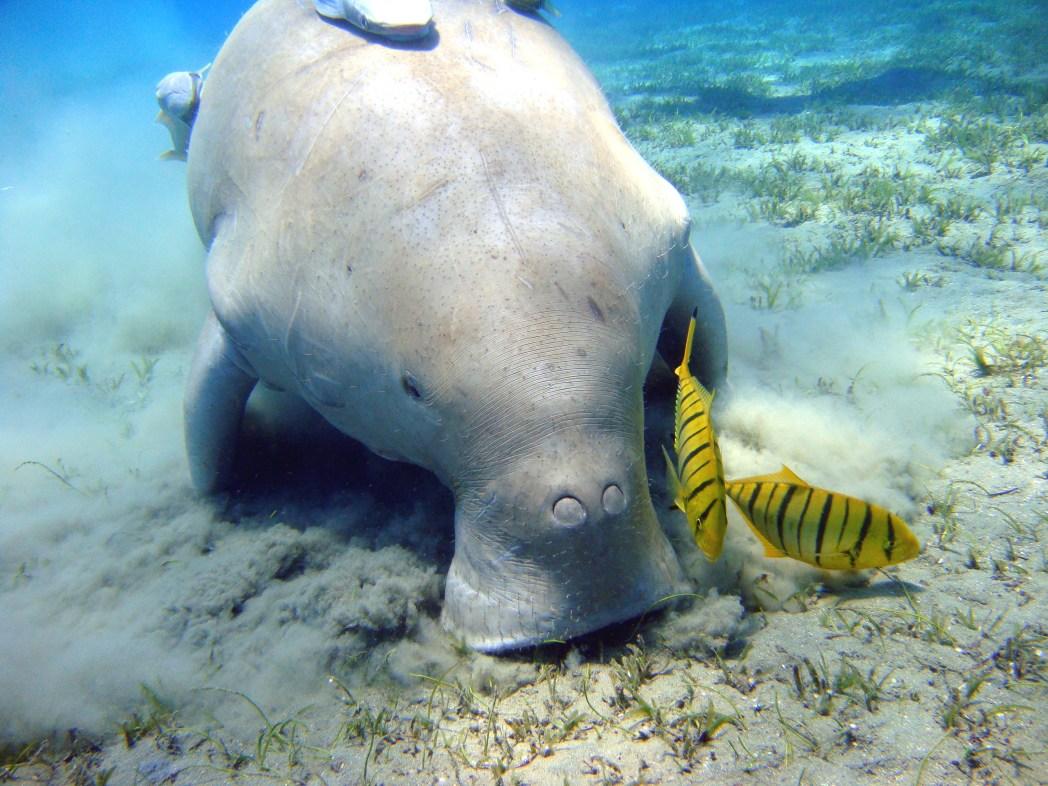 Dugong underwater