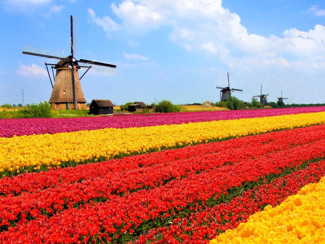 A windmill and tulip field.